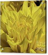 Yellow It Is Acrylic Print