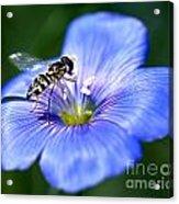 Blue Flax Flower Acrylic Print