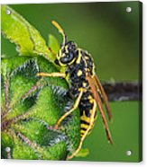 Yellow Jacket Acrylic Print