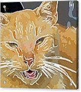 Yellow Kitty Acrylic Print