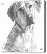 Yellow Lab Dog Pencil Portrait Acrylic Print