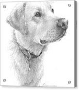 Yellow Labrador Pencil Portrait Acrylic Print
