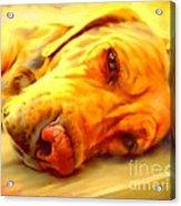 Yellow Labrador Portrait Acrylic Print