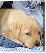 Yellow Labrador Puppy In Jeans Acrylic Print