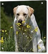 Yellow Labrador Retriever Dog Smelling Yellow Flowers  Acrylic Print