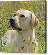 Yellow Labrador Retriever Acrylic Print