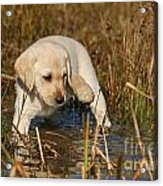 Yellow Labrador Retriever Puppy Standing In Water Acrylic Print