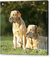 Yellow Labrador Retrievers Acrylic Print
