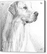 Yellow Labrador Show Dog Pencil Portrait Acrylic Print