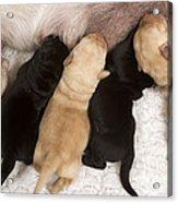 Yellow Labrador Suckling Puppies Acrylic Print
