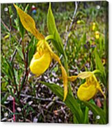 Yellow Lady Slippers Along Emerald Lake Trail In Yoho Np-bc Acrylic Print