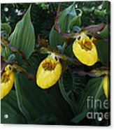 Yellow Lady Slippers On Forest Floor Acrylic Print