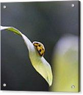 Yellow Ladybug At Dawn Acrylic Print