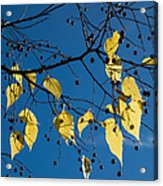 Yellow Leaves And Blue Sky In Autumn Acrylic Print