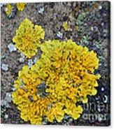 Yellow Lichen Acrylic Print