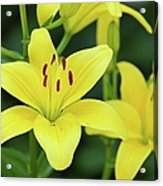 Yellow Lilly 8107 Acrylic Print