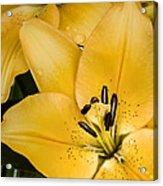 Yellow Lily Acrylic Print