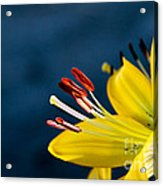 Yellow Lily Stamens Acrylic Print by Robert Bales