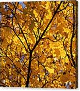 Yellow Maple 3 Acrylic Print