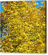 Yellow Maple Acrylic Print