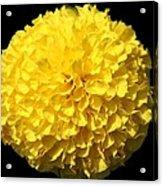 Yellow Marigold Acrylic Print