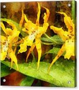 Yellow Miltassia Orchids Acrylic Print