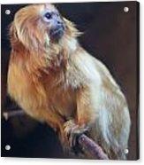 Yellow Monkey Acrylic Print