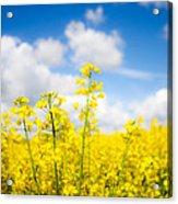 Yellow Mustard Field Acrylic Print