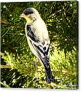 Yellow N Black Finch Acrylic Print
