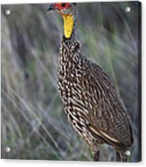 Yellow-necked Francolin... Acrylic Print