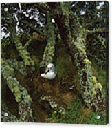 Yellow-nosed Albatrosses In Ferns Acrylic Print