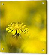 Yellow On Yellow Dandelion Acrylic Print