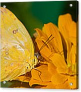 Yellow On Yellow Acrylic Print