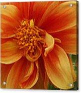 Yellow Orange Dahlia Acrylic Print