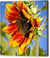 Yellow Orange Sunflower Acrylic Print