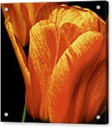 Yellow Orange Tulip Acrylic Print