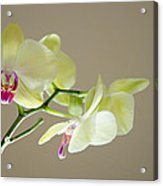 Yellow Orchids Acrylic Print by Ben Spencer