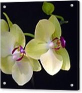 Yellow Orchids Acrylic Print