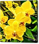 Yellow Orchids Acrylic Print