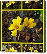 Yellow Oxalis - Oxalis Spiralis Vulcanicola Acrylic Print