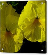 Yellow Pansies  Acrylic Print