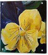 Yellow Pansy Acrylic Print
