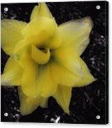 Yellow Parrot Tulip Acrylic Print