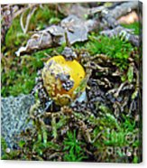 Yellow Patches Baby Mushroom - Amanita Muscaria Acrylic Print