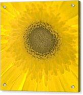 Yellow Petals Acrylic Print
