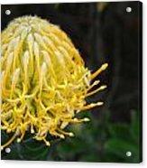 Yellow Pincushion Protea Acrylic Print