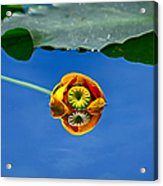 Yellow Pond Lily Acrylic Print
