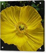 Yellow Poppie Acrylic Print