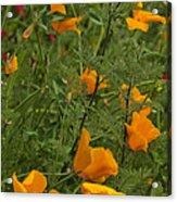 Yellow Poppies Dsc07460 Acrylic Print