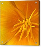 Yellow Poppy Acrylic Print